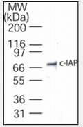 AP08427PU-N - IAP2 / BIRC2