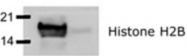 AP08442PU-N - Histone H2B