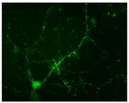 AP08743PU-N - Synapsin-1