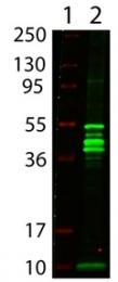 AP09126PU-N - Maltose Binding Protein Tag / MBP-Tag