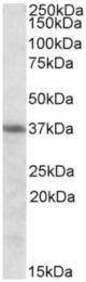 AP09440PU-N - Heme oxygenase 2 (HMOX2)