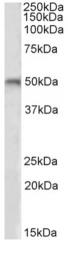 AP09613PU-N - Beta-1 adrenergic receptor