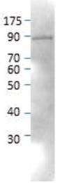 AP09865PU-N - Neurochondrin