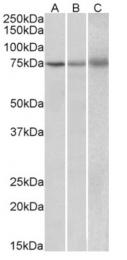 AP10035PU-N - Kelch-like protein 6