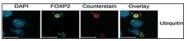 AP11230PU-N - Polyubiquitin-C / UBC