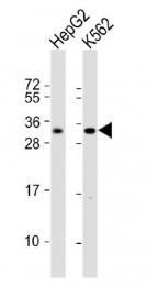 AP11496PU-N - LIN28B