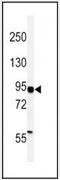 AP14543PU-N - HIF1A / HIF1 alpha