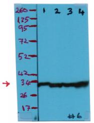 AP15745PU-S - Prohibitin / PHB