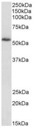 AP16019PU-N - Drebrin-like protein (DBNL)