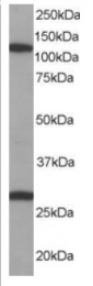 AP16054PU-N - RanBP7 / Importin-7