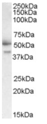 AP16063PU-N - Follistatin-related protein 1