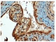 AP16317PU-N - CD274 / PDL1