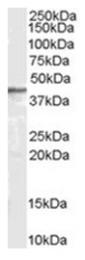 AP16362PU-N - Arrestin beta-2 / ARRB2