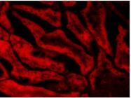 AP16502PU-N - Glutathione peroxidase 1 / GPX1