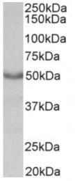 AP16531PU-N - Muscarinic acetylcholine receptor M1
