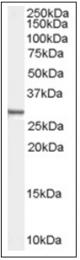 AP16552PU-N - Syntenin-1 / SDCBP