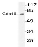 AP20213PU-N - CDC16 / APC6