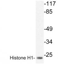 AP20238PU-N - Histone H1.0