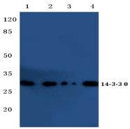 AP20329PU-N - 14-3-3 protein theta