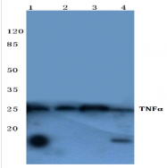 AP20373PU-N - Tumor necrosis factor (TNF-alpha)