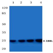 AP20383PU-N - 4-1BBL / TNFSF9