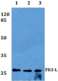 AP20420PU-N - Flt3 ligand