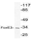 AP20439PU-N - FOXE3 / FKHL12