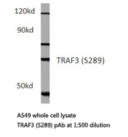 AP20520PU-N - TCF3 / E2A