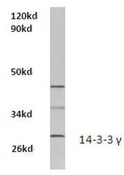 AP20539PU-N - 14-3-3 protein gamma