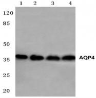 AP20566PU-N - Aquaporin-4 / AQP4