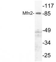 AP20775PU-N - Mitofusin-2