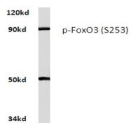 AP20805PU-N - FOXO3 / FKHRL1