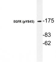 AP20830PU-N - EGFR / ERBB1