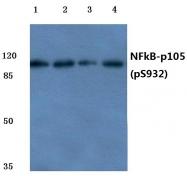 AP20850PU-N - NF-kB p105 / p50