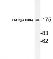 AP20868PU-N - EGFR / ERBB1