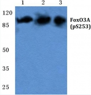 AP20889PU-N - FOXO3 / FKHRL1
