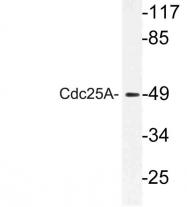 AP21101PU-N - CDC25A
