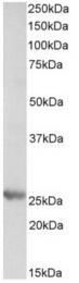 AP21517PU-N - PSMB4 / PROS26