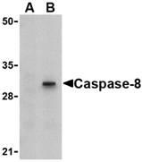 AP22942PU-N - Caspase-8 / FLICE