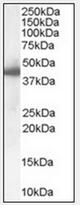 AP23034PU-N - SERPINE1 / PAI1