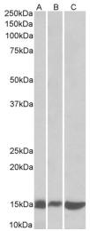 AP23675PU-N - Galectin-1