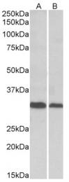 AP23757PU-N - DNA primase small subunit