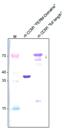 AP26021PU-N - KRIT1 / CCM1