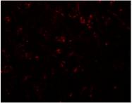 AP26303PU-N - Synaptopodin / SYNPO