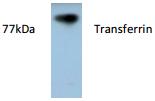AP26413AF-N - Transferrin