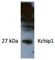 AP26424AF-N - KCNIP1 / VABP