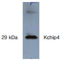 AP26425AF-N - KCNIP4