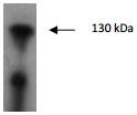 AP26426AF-N - Tyrosine-protein kinase JAK2