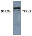 AP26428AF-N - TRPV1 / Vanilloid receptor 1