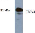 AP26429AF-N - TRPV3